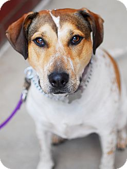 Hound (Unknown Type) Mix Dog for adoption in Detroit, Michigan - Lacey-Adopted!