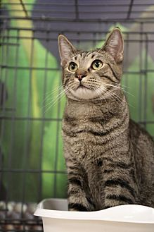 Domestic Shorthair Cat for adoption in Chino, California - Banzai Jr