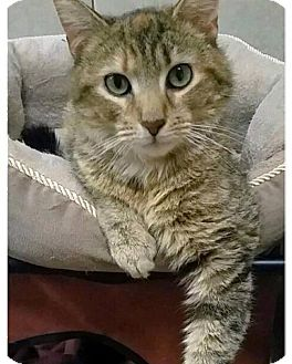 Domestic Shorthair Cat for adoption in York County, Pennsylvania - 16-038 Little Miss