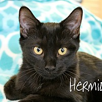 Domestic Shorthair Kitten for adoption in Wichita Falls, Texas - Hermione