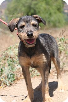 Terrier (Unknown Type, Medium) Mix Puppy for adoption in Fillmore, California - Brianna