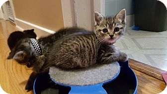 Domestic Shorthair Kitten for adoption in Pottstown, Pennsylvania - Fang