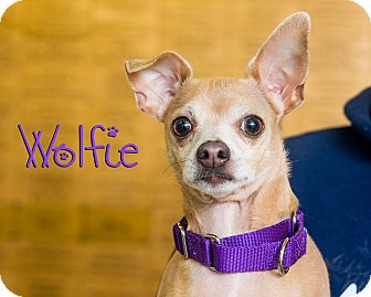 Chihuahua Mix Dog for adoption in Somerset, Pennsylvania - Wolfie