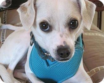 Chihuahua/Italian Greyhound Mix Dog for adoption in Carlsbad, California - Layla