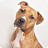 Adopt A Pet :: Joey - Columbus, OH
