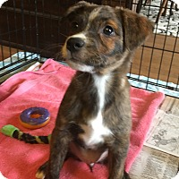 Adopt A Pet :: Blossom - Jersey City, NJ