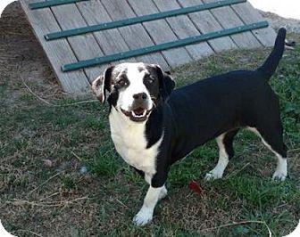 Dachshund/Jack Russell Terrier Mix Dog for adoption in Gainesville, Florida - Sadie