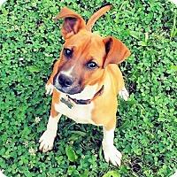 Adopt A Pet :: JellyBean - Fredericksburg, VA