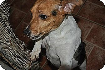Jack Russell Terrier/Chihuahua Mix Dog for adoption in Miami, Florida - Manchita