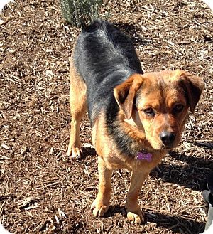 Hound (Unknown Type)/Beagle Mix Dog for adoption in Russellville, Kentucky - Cooper