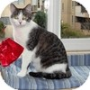 Domestic Shorthair Kitten for adoption in Vancouver, British Columbia - Sovereign