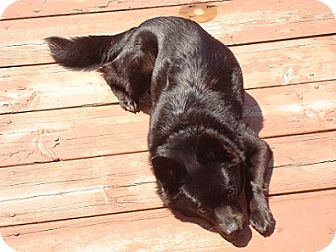 Schipperke Mix Dog for adoption in Hamilton, Ontario - Nova
