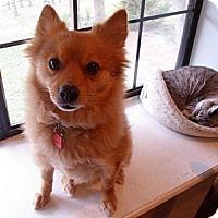 Adopt A Pet :: Beau - Brattleboro, VT