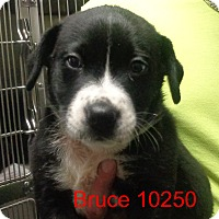 Adopt A Pet :: Bruce - Greencastle, NC