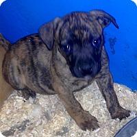 Adopt A Pet :: GRACE LITTER BRINDLE - Pompton Lakes, NJ