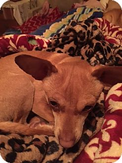 Chihuahua Mix Puppy for adoption in Corona, California - Repo .  A Reindeer Chi puppy