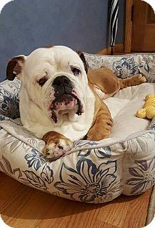English Bulldog Dog for adoption in Park Ridge, Illinois - Rocky