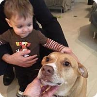 Boxer/Labrador Retriever Mix Dog for adoption in Rockville, Maryland - Nessie