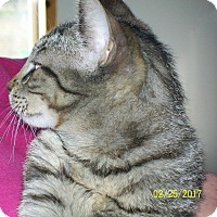 Domestic Shorthair Cat for adoption in Mexia, Texas - Giovanni