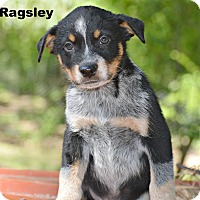 Adopt A Pet :: Ragsley - Glastonbury, CT
