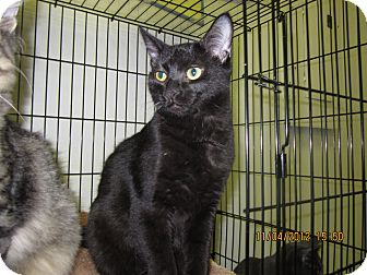 Domestic Shorthair Kitten for adoption in Jeffersonville, Indiana - Midnight