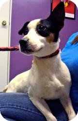 Jack Russell Terrier Mix Dog for adoption in Plainfield, Illinois - Scrappy