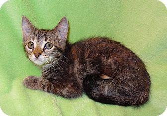 Domestic Shorthair Kitten for adoption in Bentonville, Arkansas - Jasmine