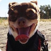 Adopt A Pet :: Trixie (aka Ferret Monkey) - Concord, CA