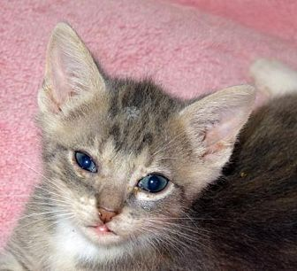 Domestic Shorthair Kitten for adoption in Palm City, Florida - Coaster