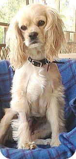 Cocker Spaniel/Cavalier King Charles Spaniel Mix Dog for adoption in Santa Barbara, California - Ivy