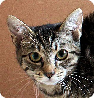 Domestic Shorthair Kitten for adoption in Morganton, North Carolina - Darla