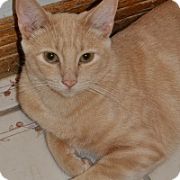 Domestic Shorthair Cat for adoption in La Canada Flintridge, California - Cameron