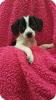 Spaniel (Unknown Type)/Border Collie Mix Puppy for adoption in Orland Park, Illinois - AF1 (Female)