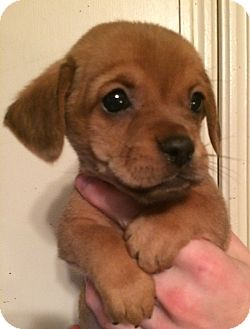 Pug/Dachshund Mix Puppy for adoption in SOUTHINGTON, Connecticut - Buttercup