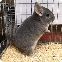 Adopt A Pet :: 4m violet male chinchilla kit - Hammond, IN