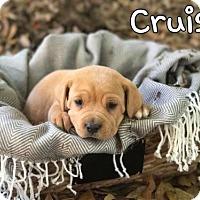 Adopt A Pet :: Cruise - Mobile, AL