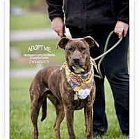 Labrador Retriever/Hound (Unknown Type) Mix Dog for adoption in Zanesville, Ohio - Bella - Urgent!