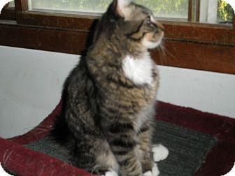Domestic Mediumhair Kitten for adoption in Milwaukee, Wisconsin - Goober