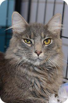 Maine Coon Cat for adoption in Harrisburg, North Carolina - Smoochie