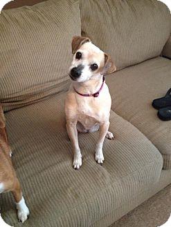 Chihuahua/Feist Mix Dog for adoption in Hamburg, Pennsylvania - Chloe