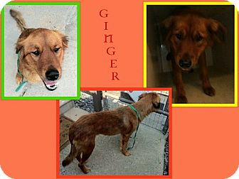Golden Retriever/Retriever (Unknown Type) Mix Dog for adoption in Dallas, North Carolina - GINGER