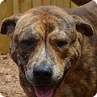 Adopt A Pet :: Tiger - Houston, TX