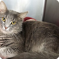 Domestic Longhair Cat for adoption in St Louis, Missouri - Smokey 3