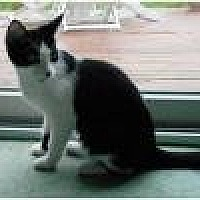 Domestic Shorthair Cat for adoption in Livonia, Michigan - Leah