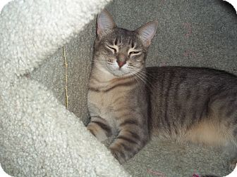 Domestic Shorthair Cat for adoption in Glendale, Arizona - Gabi