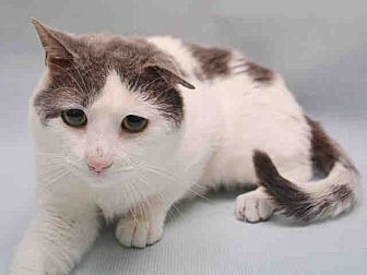 Domestic Shorthair Cat for adoption in Newtown, Connecticut - Teddy: Cat