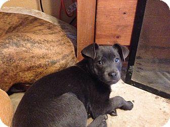 Schnauzer (Miniature) Mix Dog for adoption in Royse City, Texas - Cafe