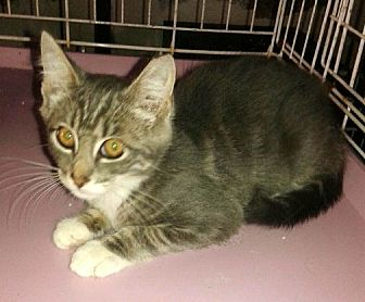 Domestic Shorthair Kitten for adoption in valhalla, New York - CJ KITTEN