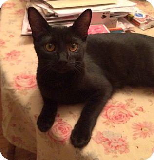 Domestic Shorthair Kitten for adoption in Millersville, Maryland - Jetta