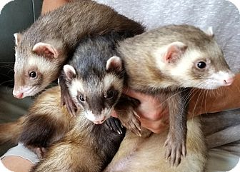 Ferret for adoption in Brandy Station, Virginia - JAX & GIZMO & CHAPS